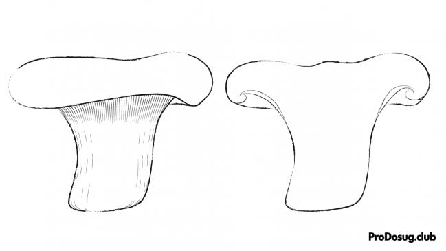 Paxillus involutus - молодая свинушка тонкая, схема