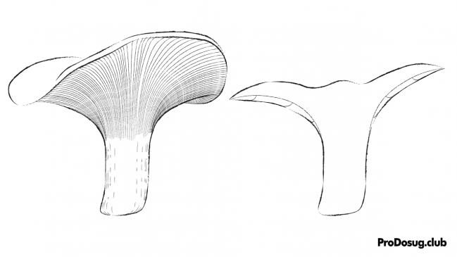 Paxillus involutus - взрослая свинушка тонкая, схема