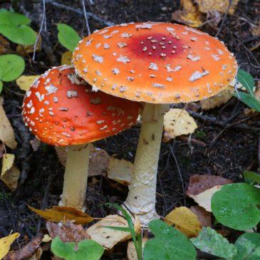 Amanita muscaria - Мухомор красный