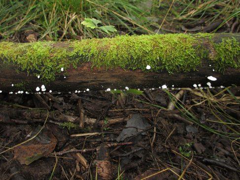 Хеймонофиллум чистейший - Cheimonophyllum candidissimum