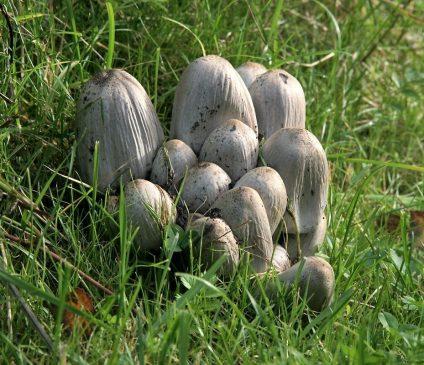Навозник серый - Coprinopsis atramentaria