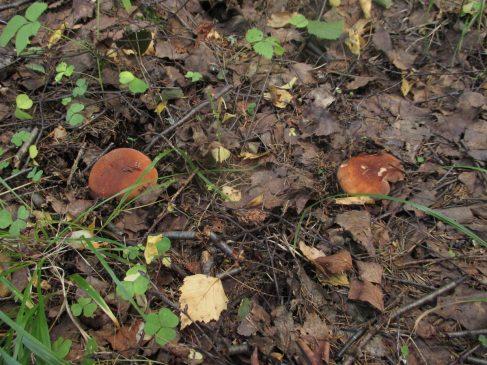 Lactarius volemus - Подмолочник