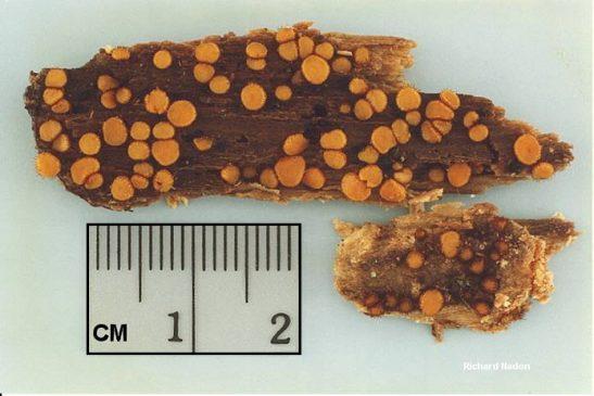 Scutellinia - Скутеллиния