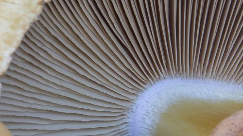 Phaeolepiota aurea - Феолепиота золотистая