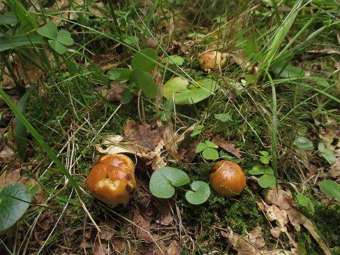 Подвалуй - Russula subfoetens