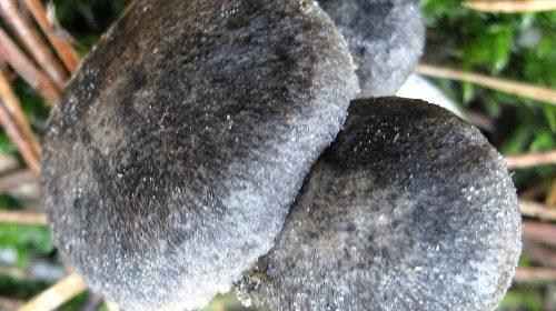 Рядовка печальная - Tricholoma triste