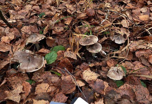 Рядовка Гульден - Tricholoma guldeniae