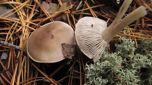Рядовка сухая - Tricholoma sudum