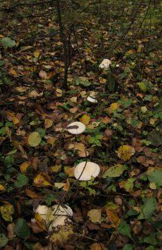 Рядовка частопластинковая - Tricholoma stiparophyllum