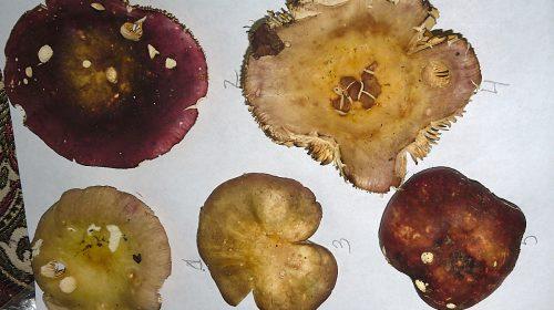 Russula fulvograminea - споровый порошок